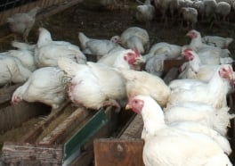 8 Ways Eating Chickens Hurts Humans