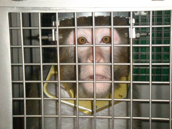 Mono enjaulado en laboratorio siendo experimentado
