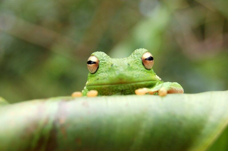 Frog 603401
