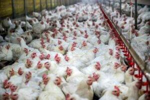 gallinas en una fabrica encerradas