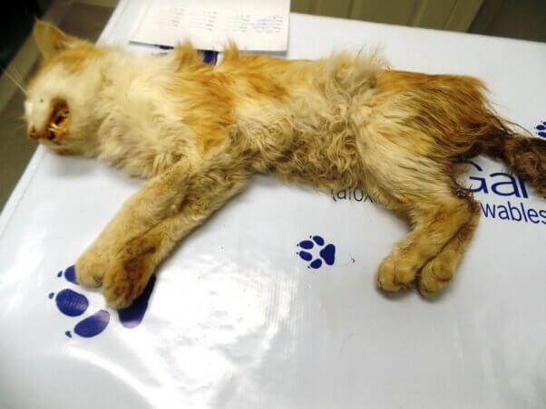 Garfield_cat