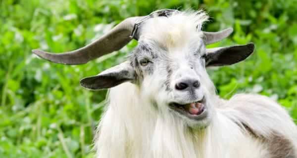 La leche de cabra es buena para el colesterol