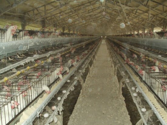 hens in battery cages
