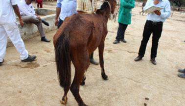El International Science Consortium de PETA financia investigación para finalizar experimentos con caballos