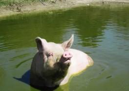 Do Pigs Like to Swim? You Bet They Do