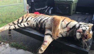Fotos gráficas muestran a un tigre de Ringling Bros muerto a tiros.