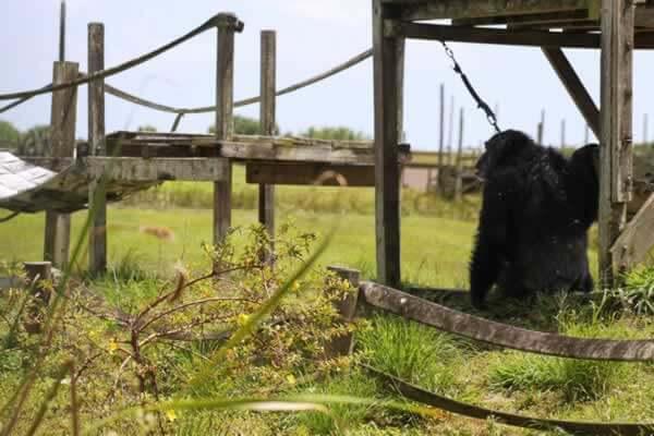 iris the chimp rescue