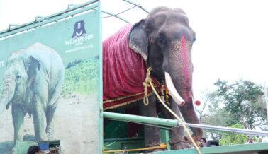 Victoria: Campaña de PETA libera a Gajraj, el elefante encadenado después de más de 50 años de abandono