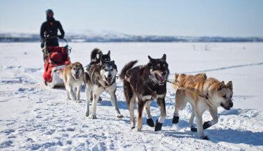 151 perros muertos y contando: PETA lleva la cuenta del saldo mortal del Iditarod