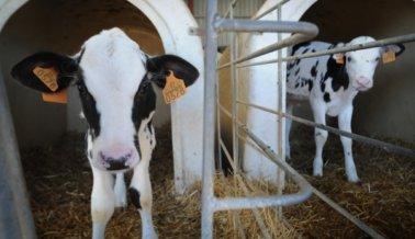 Por Qué la Leche de Vaca es la Bebida Preferida Para los Supremacistas