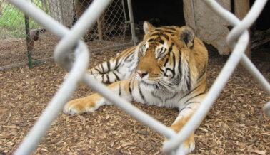 Tigre Fue Encontrado Deambulando en Vecindario de Texas: PETA Pide Medidas Drásticas contra el Comercio de Grandes Felinos