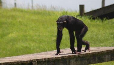 ¡Victoria! Tras Años de Trabajo Duro, PETA les Asegura una Nueva Vida a Chimpancés Explotados