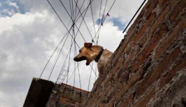Soledad, Aburrimiento, Insolación y Hambre: Así Viven los Perros Atrapados en Azoteas