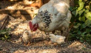Madre gallina con sus pollitos