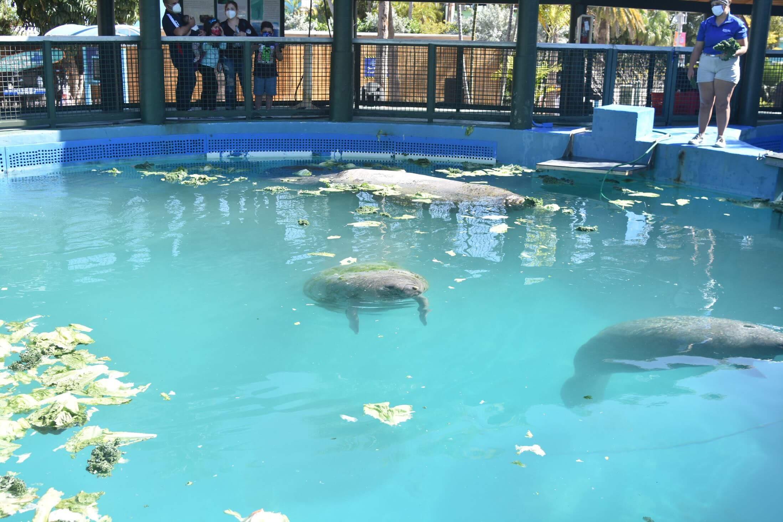 Manetee en un tanque en Miami Seaquarium