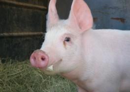 Las 10 Principales Razones para No Comer Cerdos