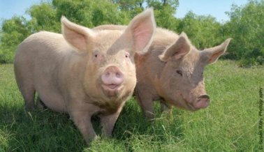 Por primera vez en 39 años los cerdos no serán perseguidos en feria en Pennsylvania