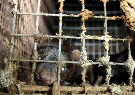 The Truth About Fur: The Harsh Reality of Mink Farming
