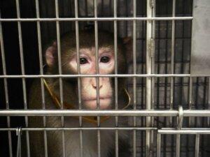 Mono enjaulado en un laboratorio de experimento