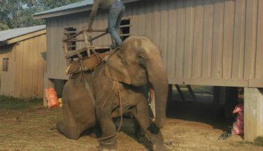 """Video: Elefante golpeado hasta romperle la pierna durante un """"entrenamiento"""""""