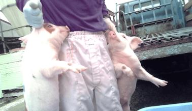 Lechones Lanzados Contra el Concreto y Abandonados Para Morir en la Granja Nippon Ham en Japón