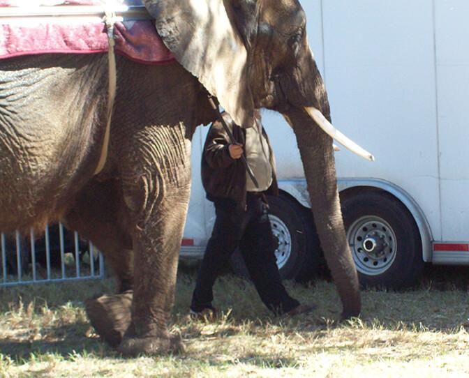 Nosey-Bullhook-elephant