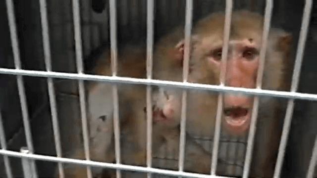 ONPRC Mono enjaulado laboratorio