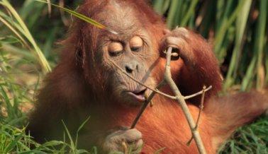 ¡Victoria! Celebración Universal porque parques temáticos vetan espectáculos con primates