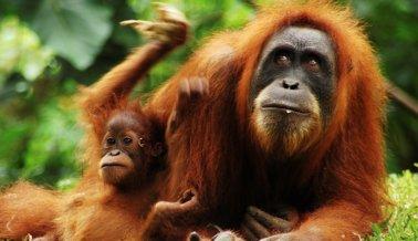 """Orangután declarado """"persona"""" por tribunal Argentino"""