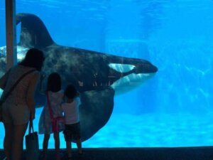 Orca in a tank at Seaworld