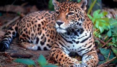Ceremonia de la antorcha olímpica termina con la muerte a tiros de un jaguar en cautiverio