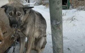Perro atado en la nieve carrera de iditarod
