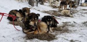 Perros atados en la nieve carreras de iditarod