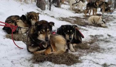 La Tetracampeona del Iditarod, Susan Butcher, Admitió Maltrato en Carreras de Trineos con Perros