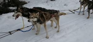 Perros atados en una carrera de iditarod