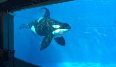 Ojalá los animales encarcelados en SeaWorld vivieran libremente como los de su nuevo comercial 'Del parque al planeta'