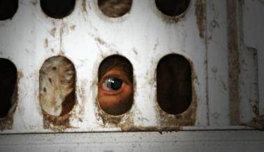 Asesinan Toros en Yucatán: Prohibir las Corridas de Toros No Los Libra de la Muerte