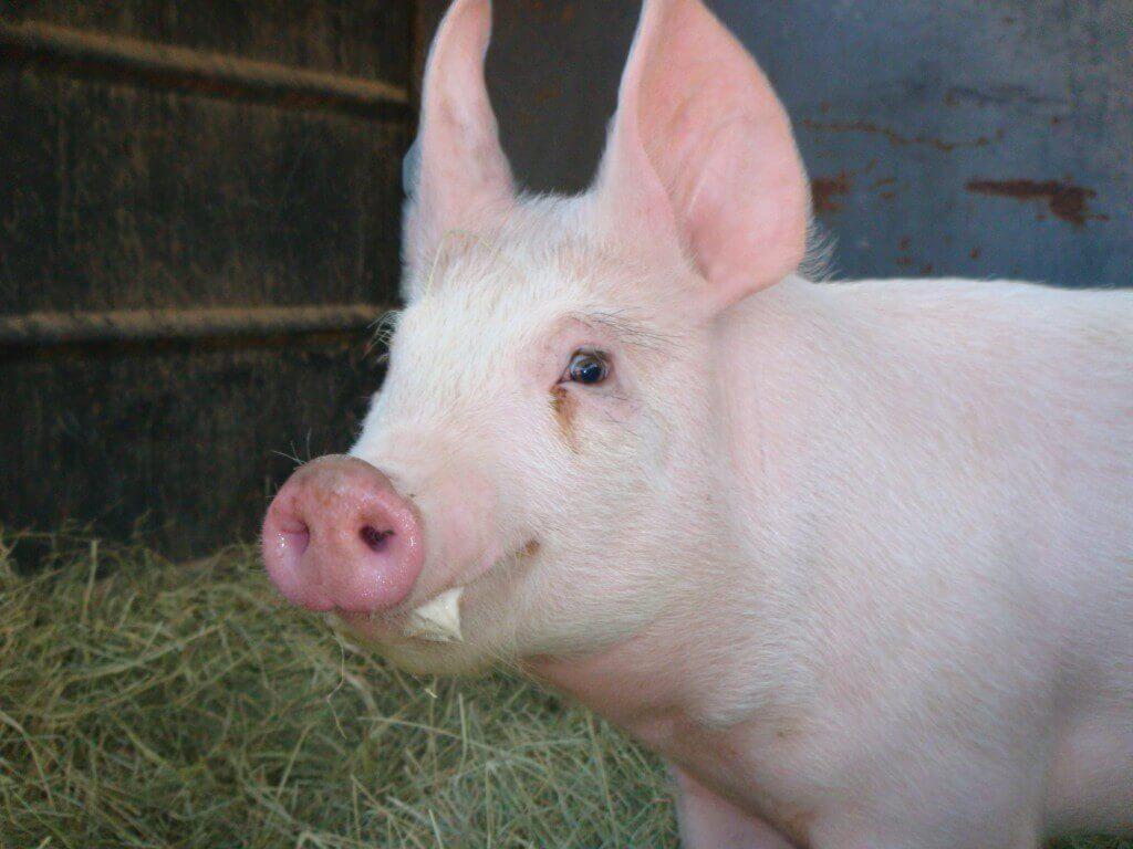 como engordar cerdo rapido