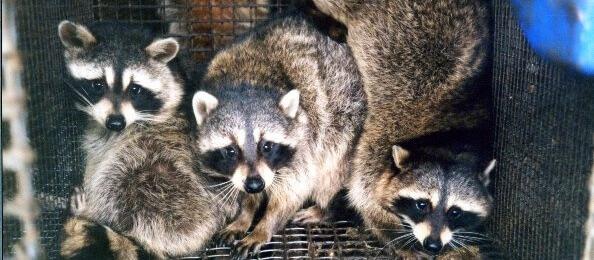 Raccoon_Fur_Farm_PETA_owned