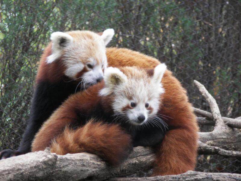 Red panda flickr
