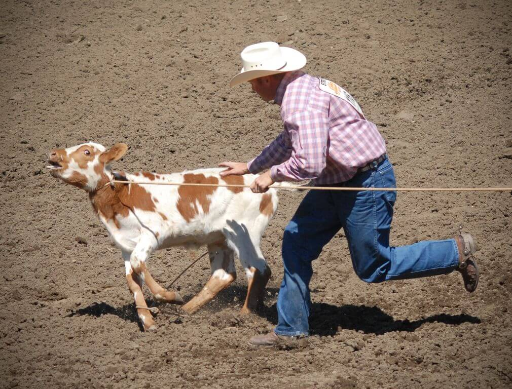 Rodeo calf We animals