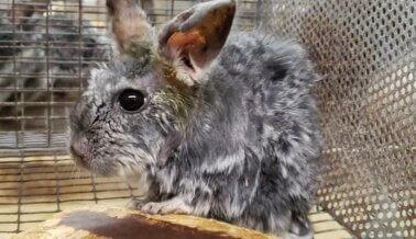 Proveedor de Laboratorios y del Comercio de Mascotas Tiene a Cientos de Chinchillas Confinadas en Estrechas Jaulas en Horrorosa Fábrica de Cría