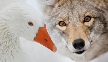 Acabemos con la Crueldad de Canada Goose | ¡Actúa ya!