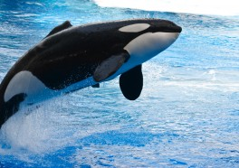 California Bill Would Free Orcas at SeaWorld