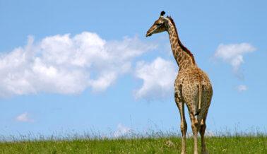 El zoológico que había matado a una jirafa bebé ahora tiene una nueva