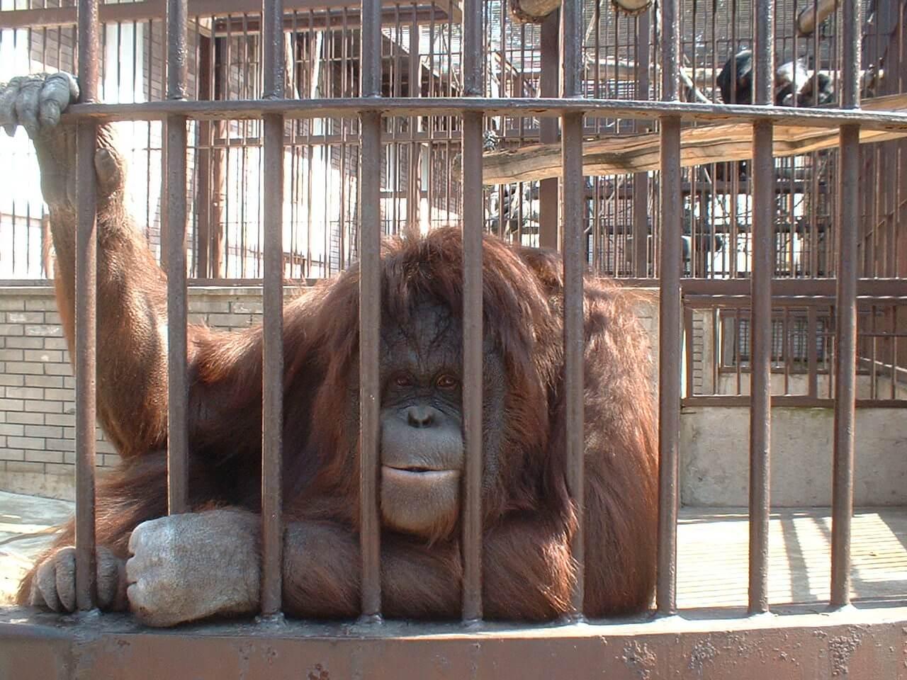 Orangutan in zoo 375348