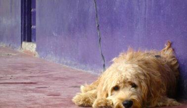 ¿Por qué le pedimos a Google que ayude a los perros en Chile?