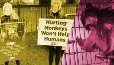 PETA Derriba una por una las Mentiras de la Universidad de Washington Sobre la Investigación en Primates