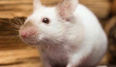 Agencias Federales: Empleados Incompetentes Causan Dolor y Sufrimiento a los Animales en Laboratorios de los NIH