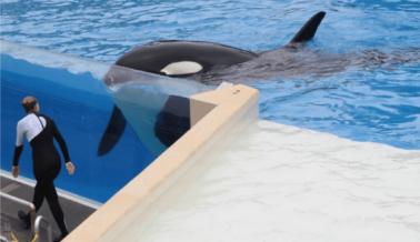 ¿El Descuido de SeaWorld Mató a la Orca Amaya? 'Se Podría Haber Evitado' Dijo un Informante a PETA